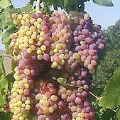 Fresno Grapes